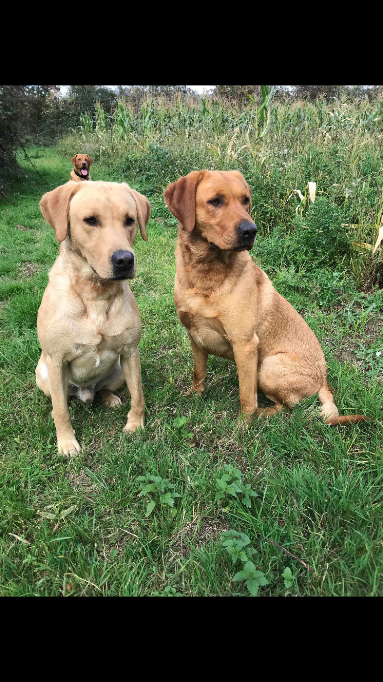 Fox red Labrador puppies - Horse & Hound
