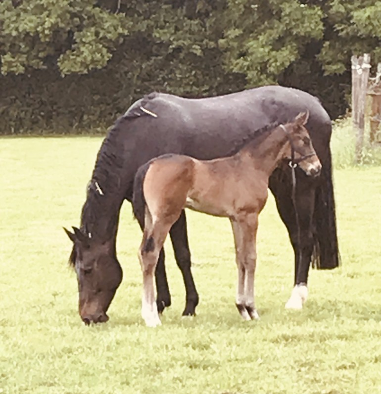 2019 bay filly by the champion young stallion Furst Toto (totilas)